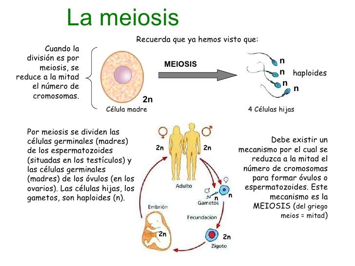 masreproduccion-celular-parte-3-meiosis-1-728