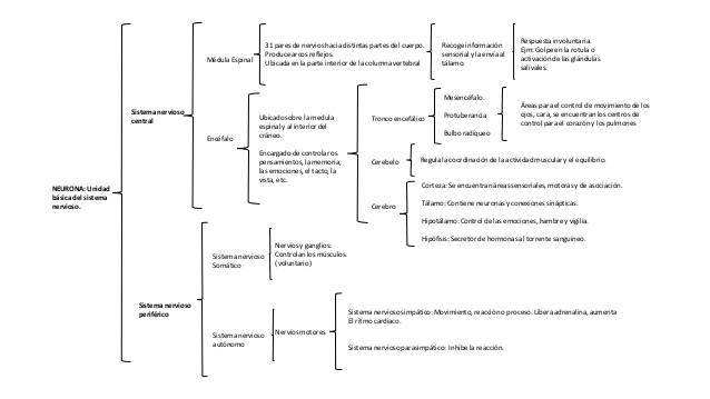 neuronacuadro-sinoptico-1-638