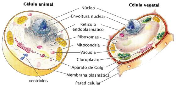 celula-animal