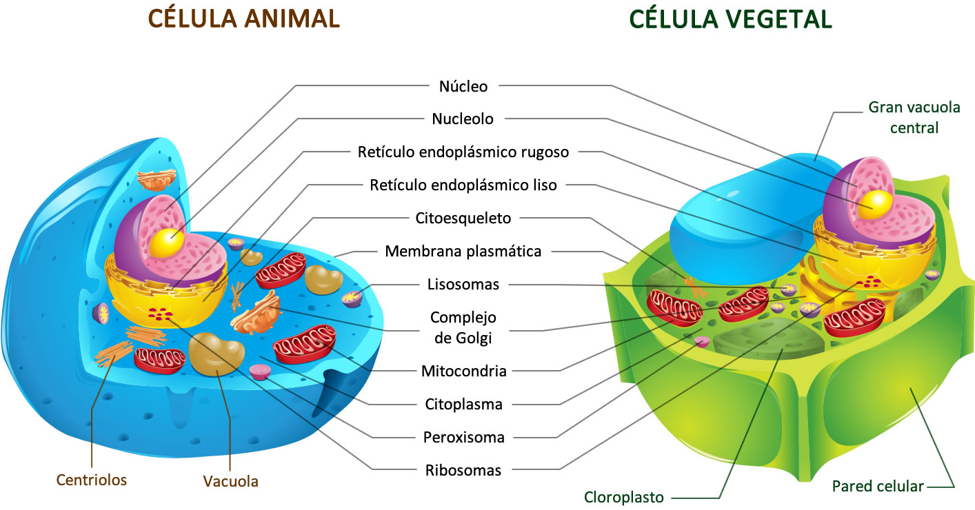 Resultado de imagen para Fotos de células vegetales y animales