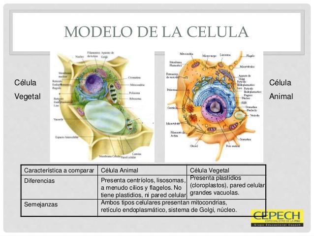 celulaorganelos-de-la-clula-animal-y-vegetal-20-638