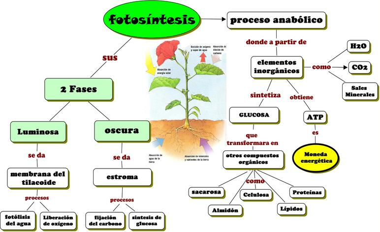 fotosintesis_-_¿Cuales_son_las_fases_de_la_fotosintesis