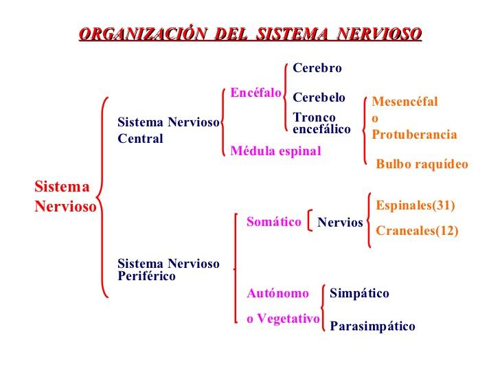 perisistema-nervioso-periferico-2-728