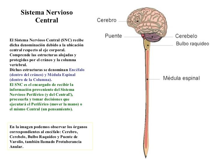 sistema-nervioso-10-728