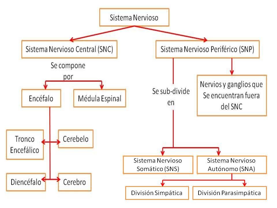 Mapa conceptual del sistema nervioso Central y Periférico: Cuadros ...
