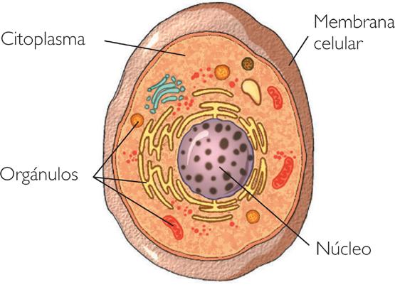 Celula1-animal