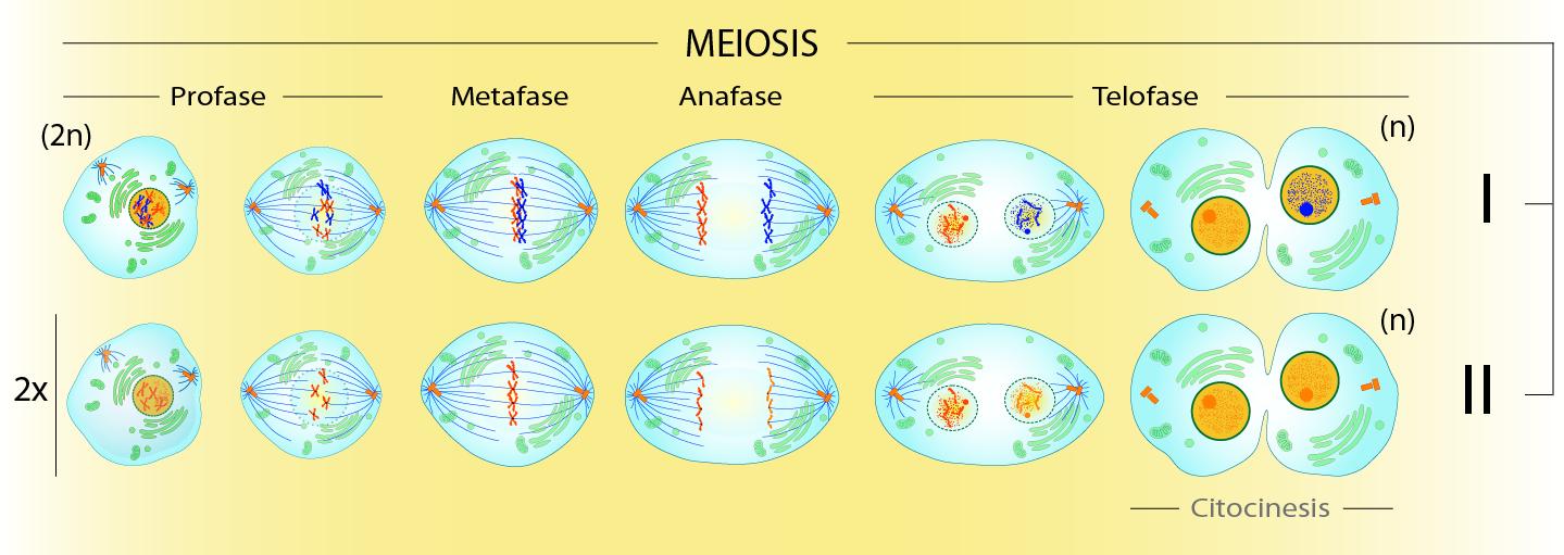 Meiosis_fmx