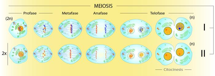 Meiosis_mx