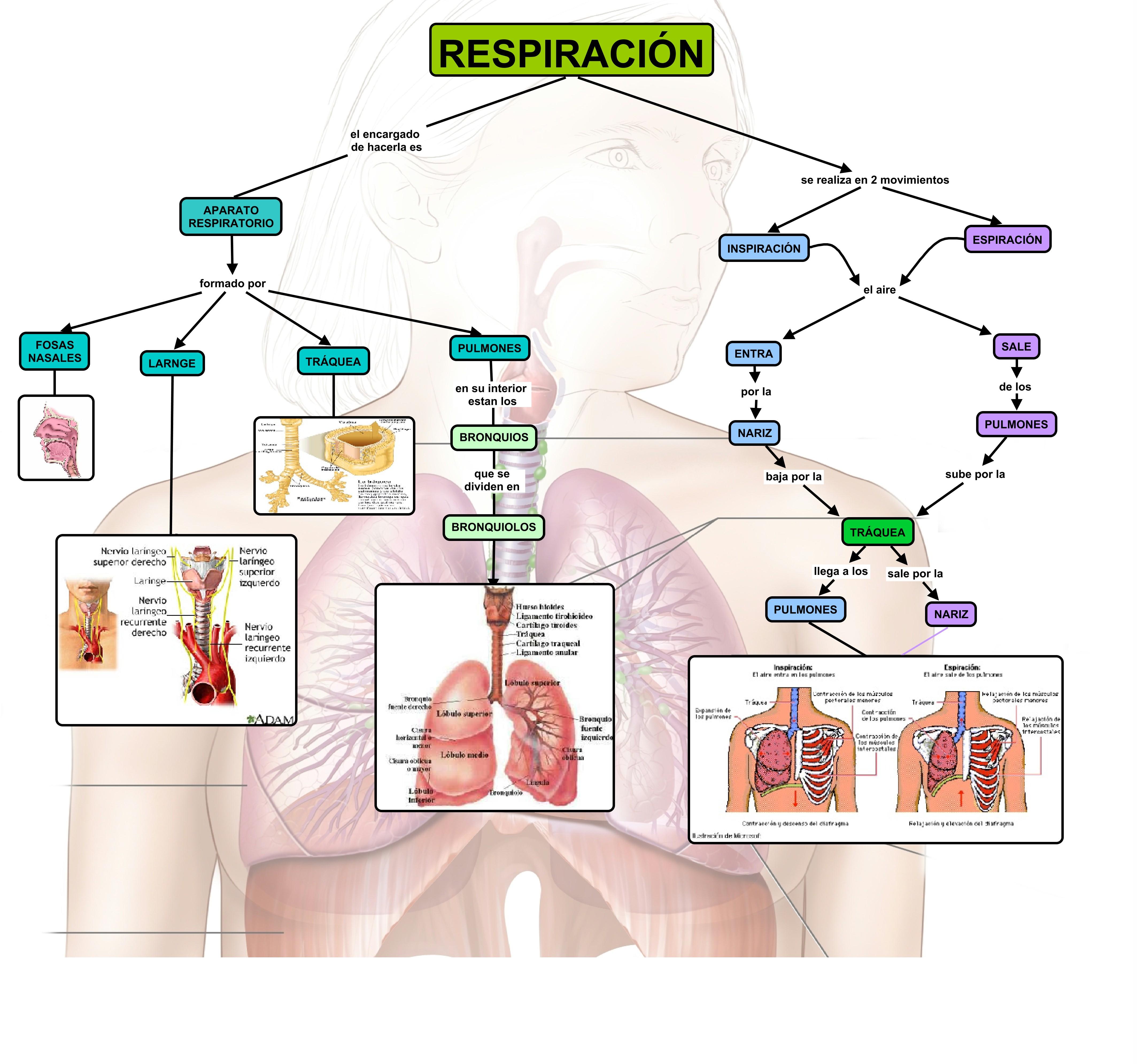 Cuadros sinópticos sobre el aparato respiratorio humano: Intercambio ...