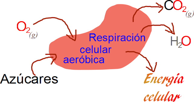 introducción a la respiración celular aeróbica