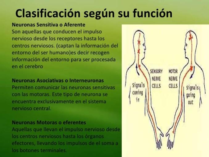 tema-4-neuronas-37-728