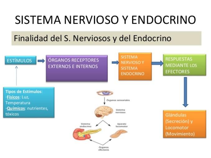 sistemanerviosoyendocrino-110322182728-phpapp02-thumbnail-4