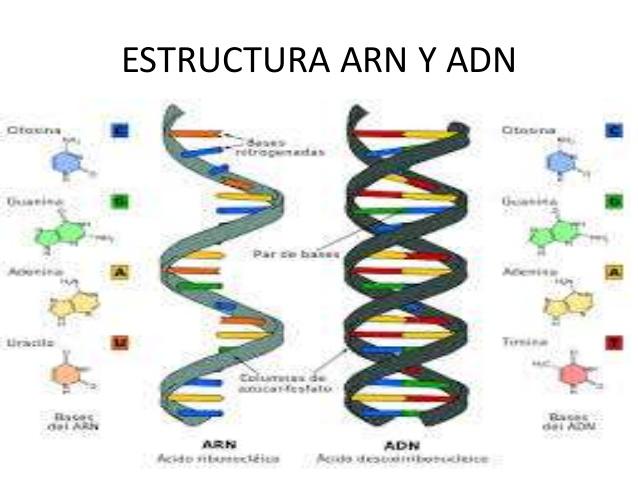 Resultado de imagen de ARN y el ADN
