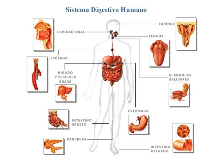 sistema-digestivo-3-728