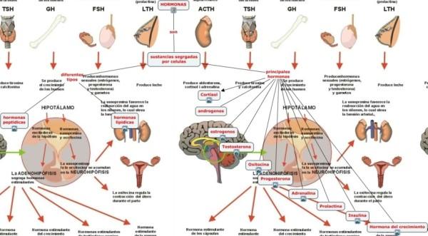sistemacual-es-la-funcion-del-sistema-endocrino-fileminimizer-e1452797994184