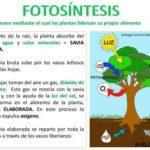 Cuadros sinópticos de la fotosíntesis