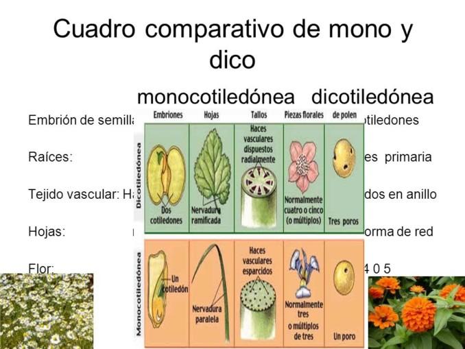 Cuadros comparativos entre monocotiledoneas y dicotiledoneas ...
