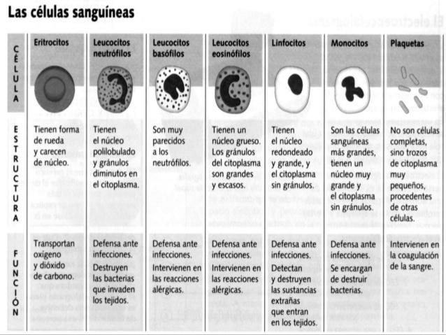 tipos de leucocitos y caracteristicas